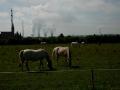Kladrubské koně se pasou