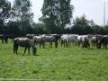 Stádo koní v Kladrubech